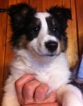 Tri-Colored Sheltie Pup For Sale