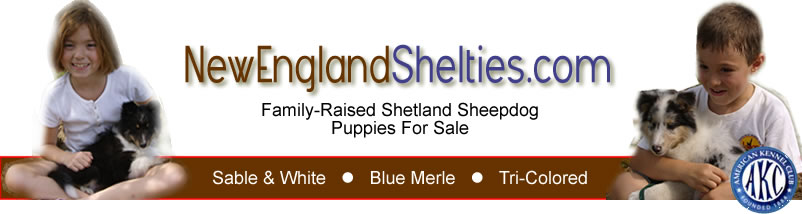 New England Shelties For Sale